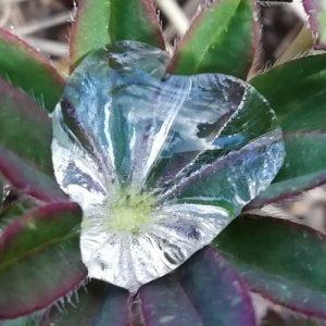 Kuvassa kasvin lehden keskustaan kerääntynyttä kastetta. Kuvituskuva.