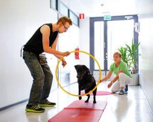 Musta labradorinkoira hyppää kuntoutujan pitelemän renkaan läpi. Fysioterapeutti on käytävällä taaempana.